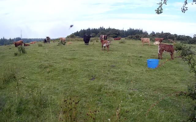 Braes cows